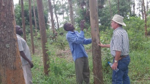 Here Salongo, an expert, helps select the right trees to cut for our roof rafters.