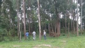 We had to spend a day to find this suitable forest of Eucalyptus trees. They are long and straight and will be great for our rafters.