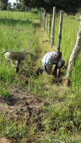 Planting Eucalyptus trees around the perimeter of the R.A.U. land.