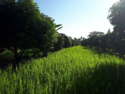Last season's rice between rows of grafted mangoes and bananas